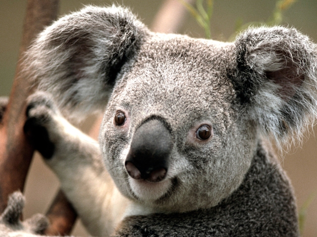 Picture courtesy of: https://www.spirit-animals.com/koala/
